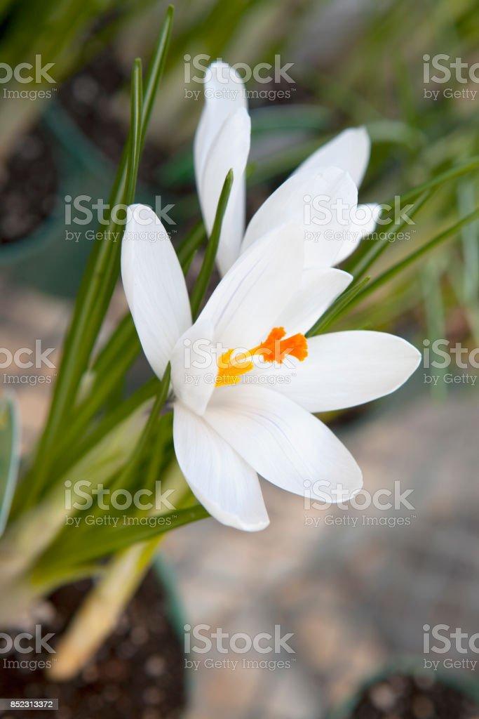 White crocus (Crocus heuffelianus) blooming stock photo