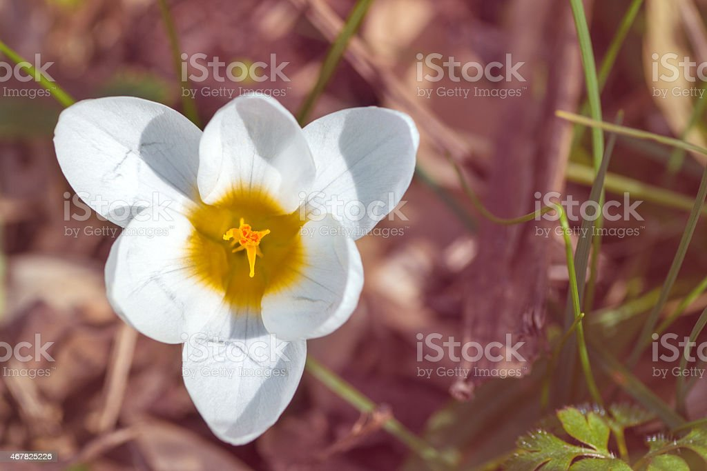 White Crocus flower 6 petals top view triangle shape horizontal stock photo