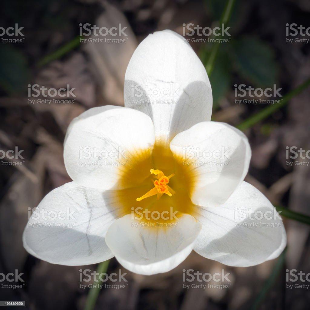 White Crocus flower 6 petals top view triangle shape stock photo