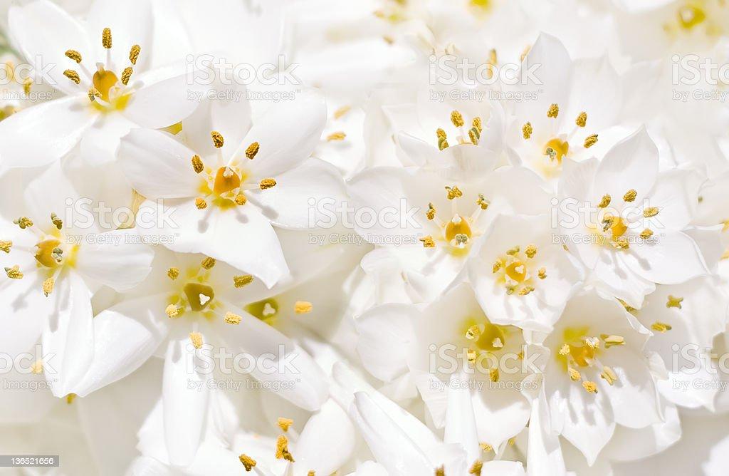 White Crocus flowers royalty-free stock photo