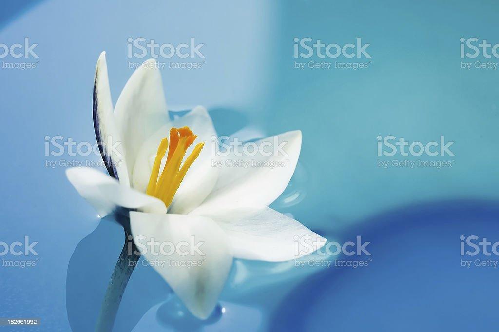 White Crocus stock photo