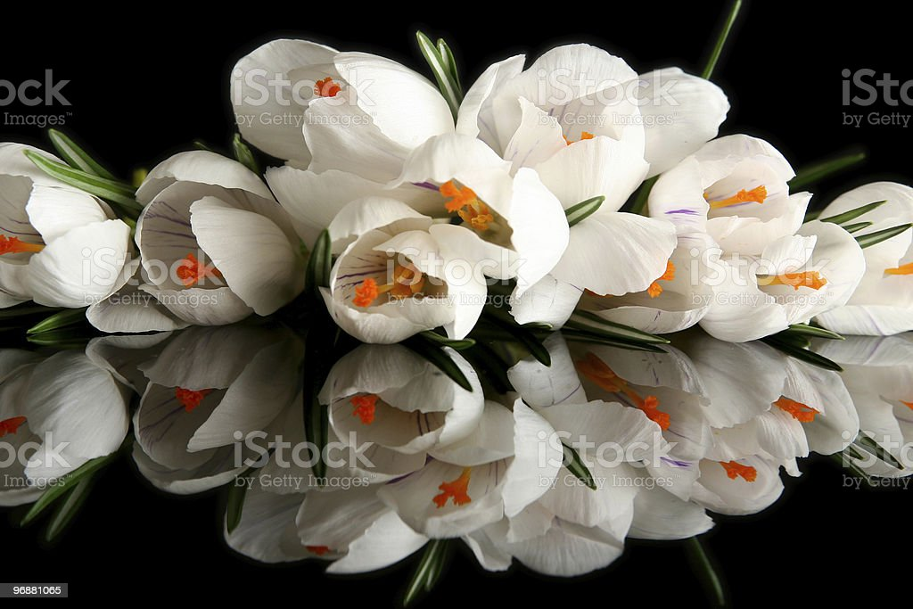 White crocus royalty-free stock photo