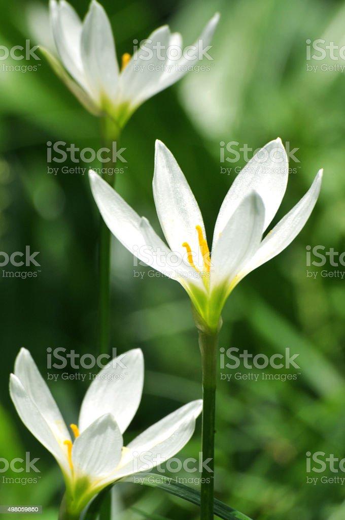 White crocuses stock photo