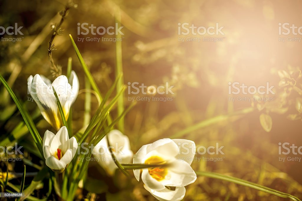 white crocuses stock photo