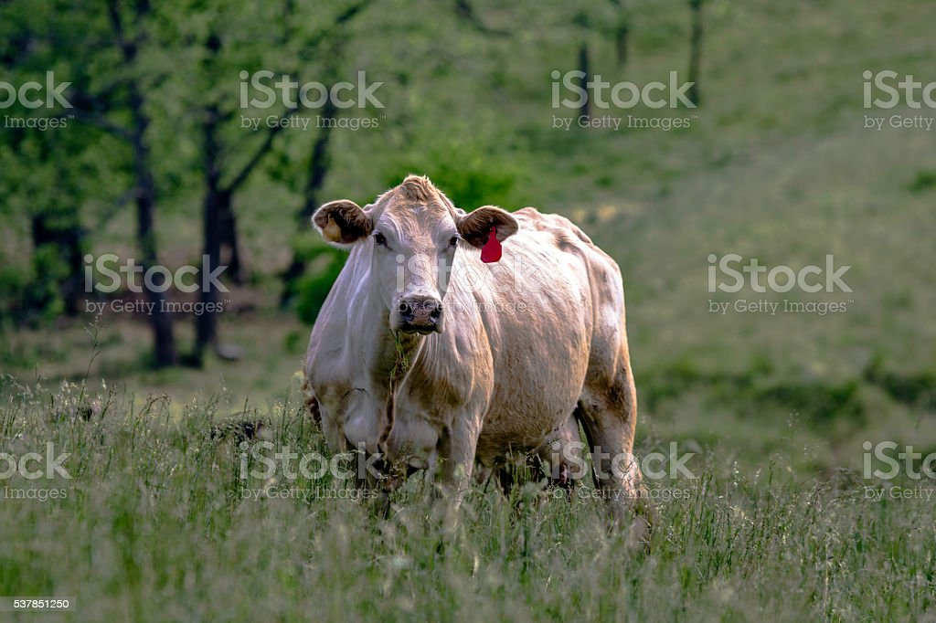 White crossbred cow in a rural Kentucky pasture stock photo