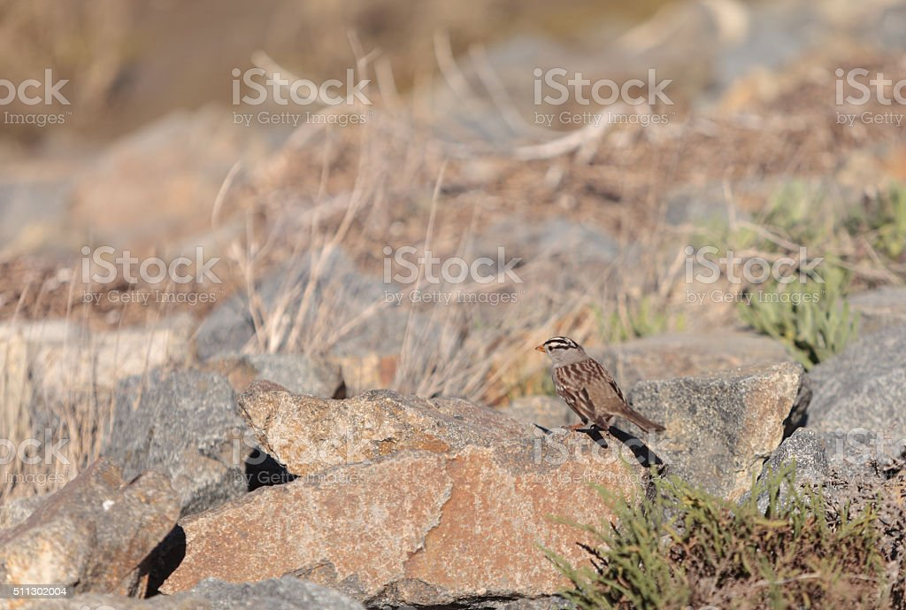 White crowned sparrow stock photo
