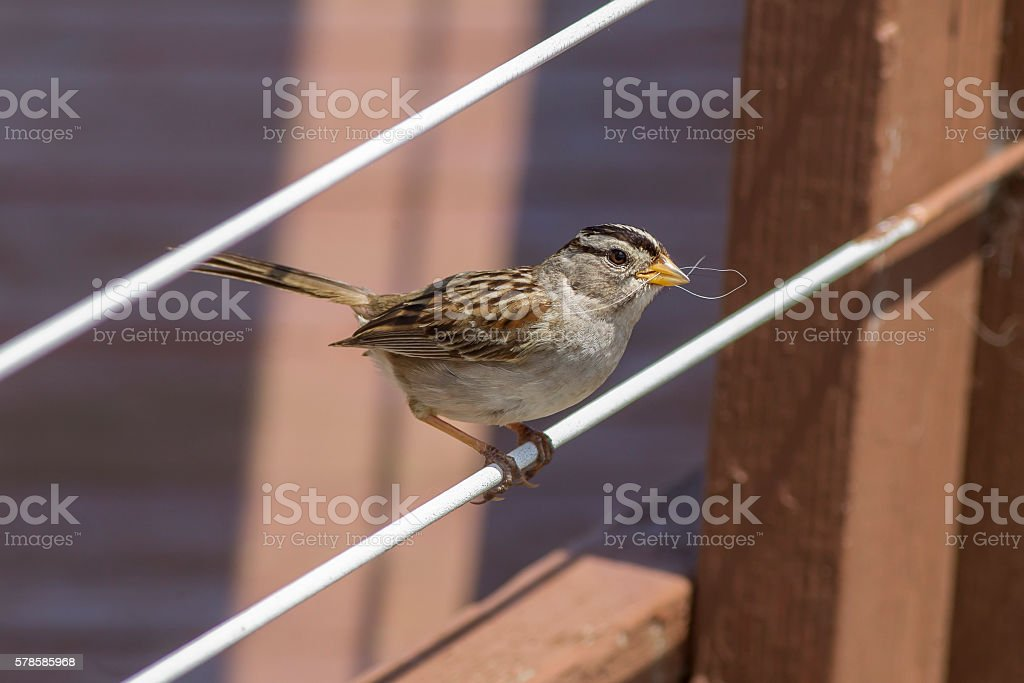 White crowned sparrow. stock photo