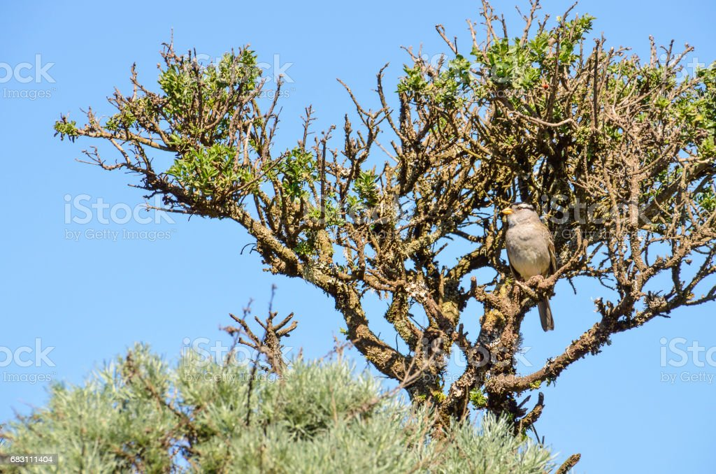 White crowned sparrow sitting perched on tree stock photo