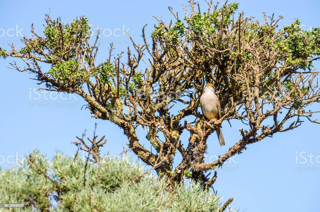 White crowned sparrow sitting perched on tree singing up stock photo