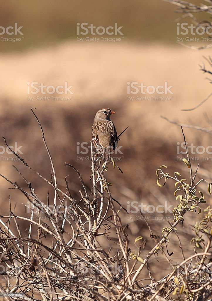 White crowned sparrow, Zonotrichia leucophrys stock photo