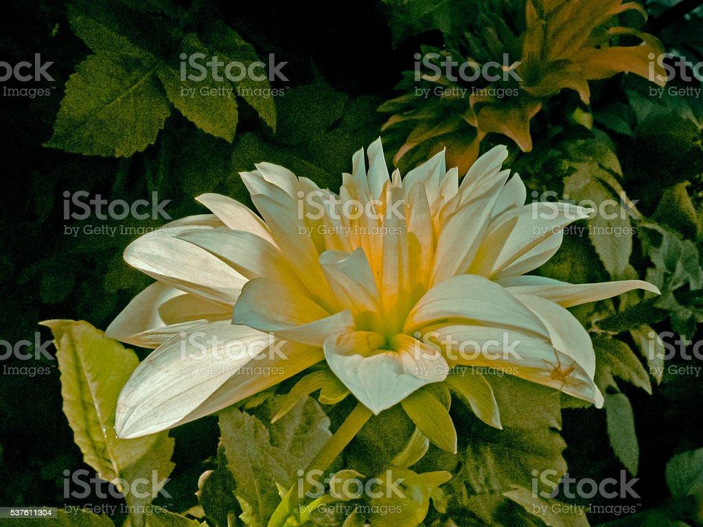 White Crysanthemum flower, called shawanti in India stock photo