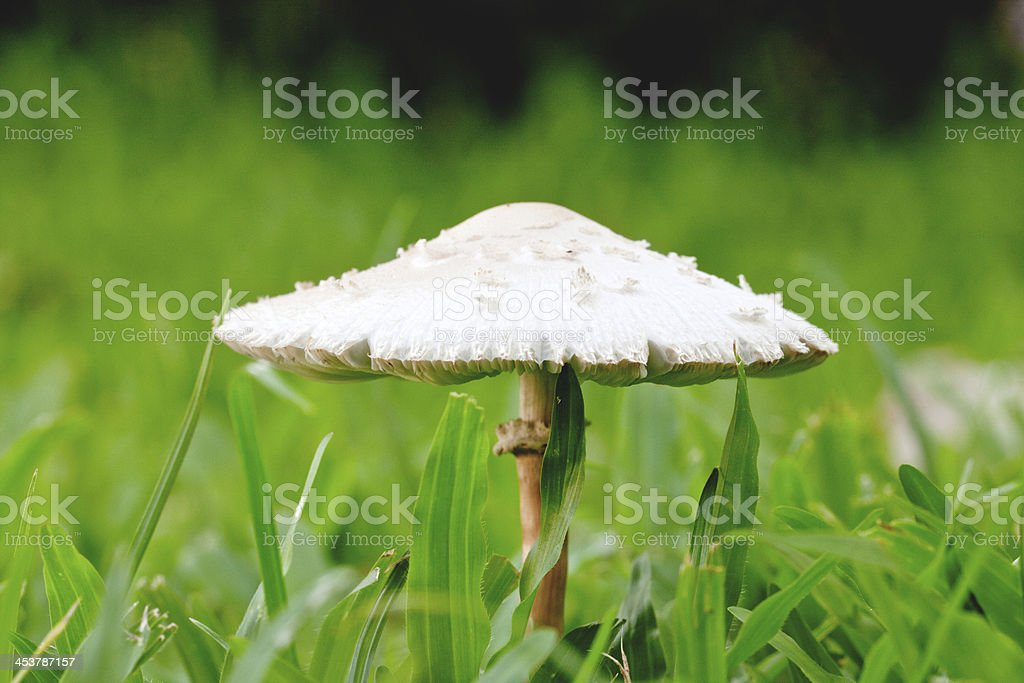 white cup mushroom on garden green grass royalty-free stock photo