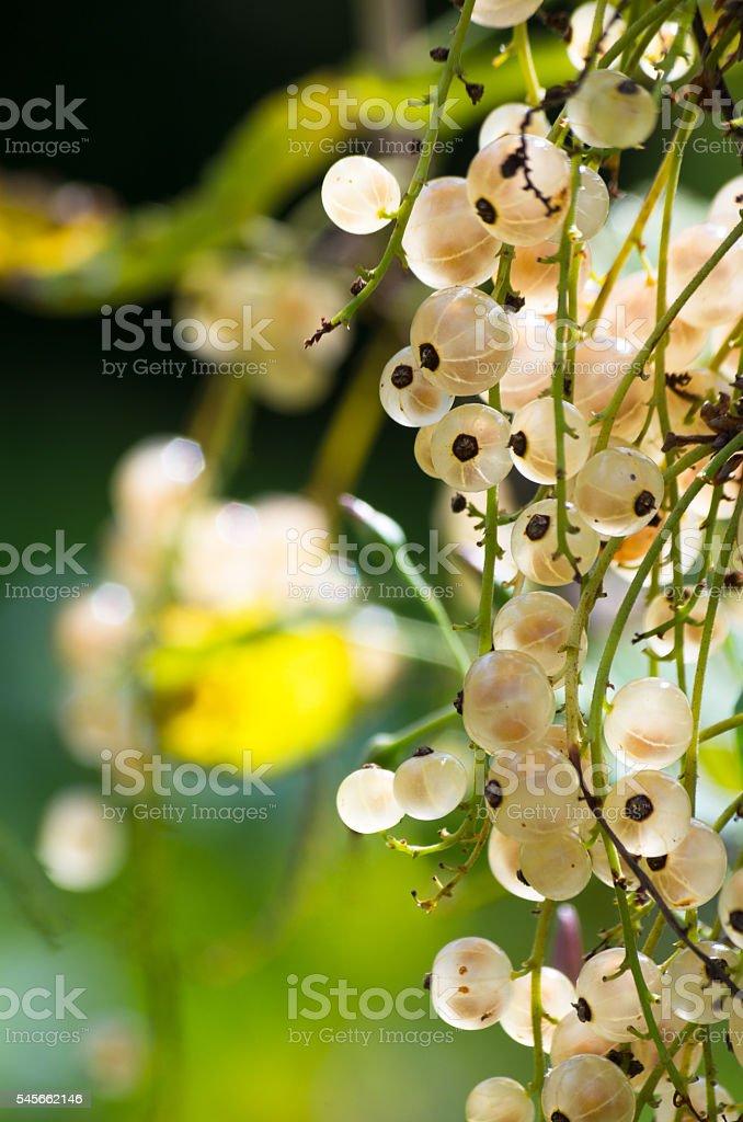 White currants stock photo