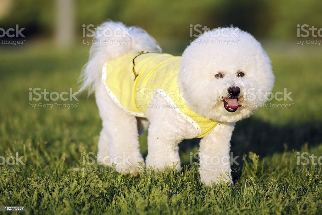 White Cute Bichon Dog - XLarge stock photo