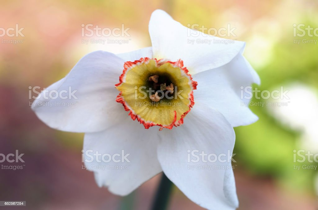White daffodil, close up stock photo