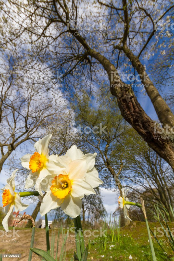 White daffodil flowers under trees in Leases Park, Newcastle, UK stock photo