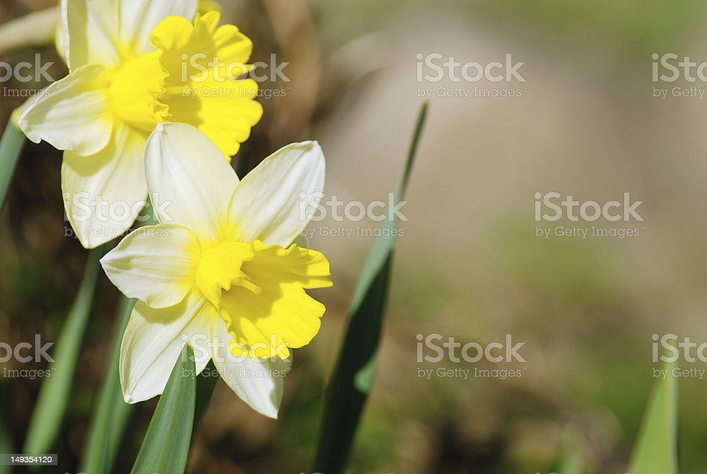 White daffodils close-up royalty-free stock photo