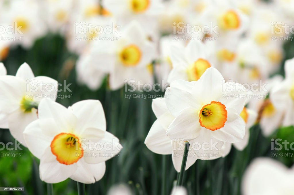 white daffodils on a grass field stock photo