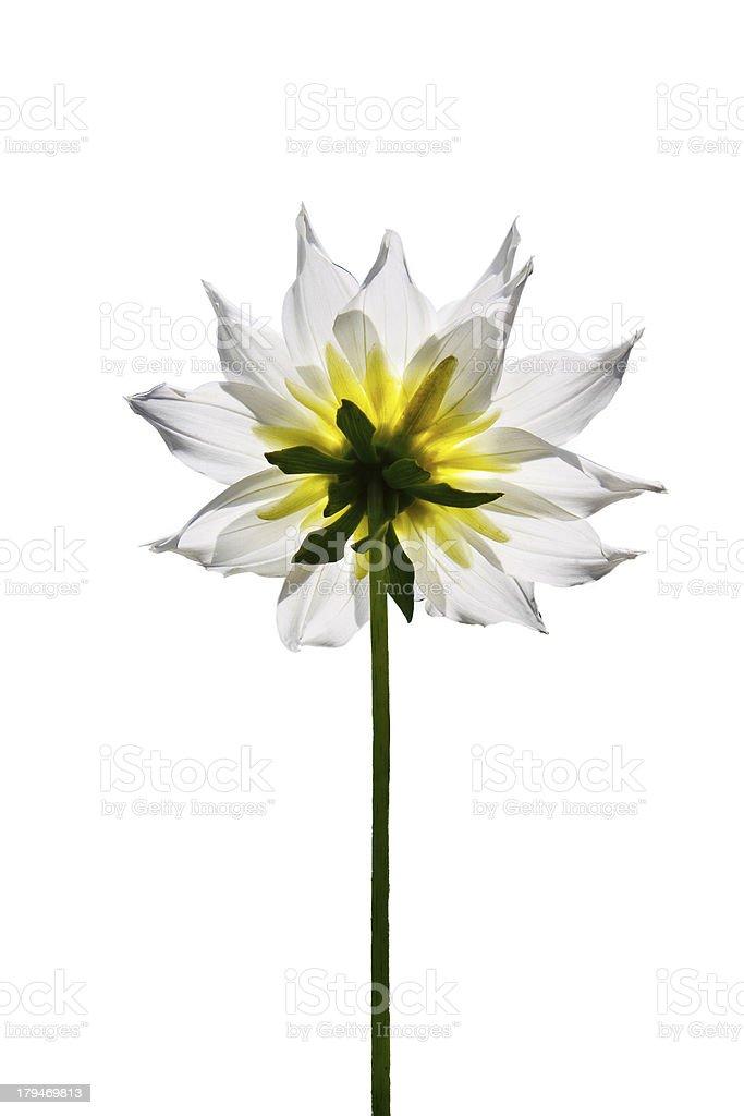 White Dahlia Flower isolated on plain background royalty-free stock photo