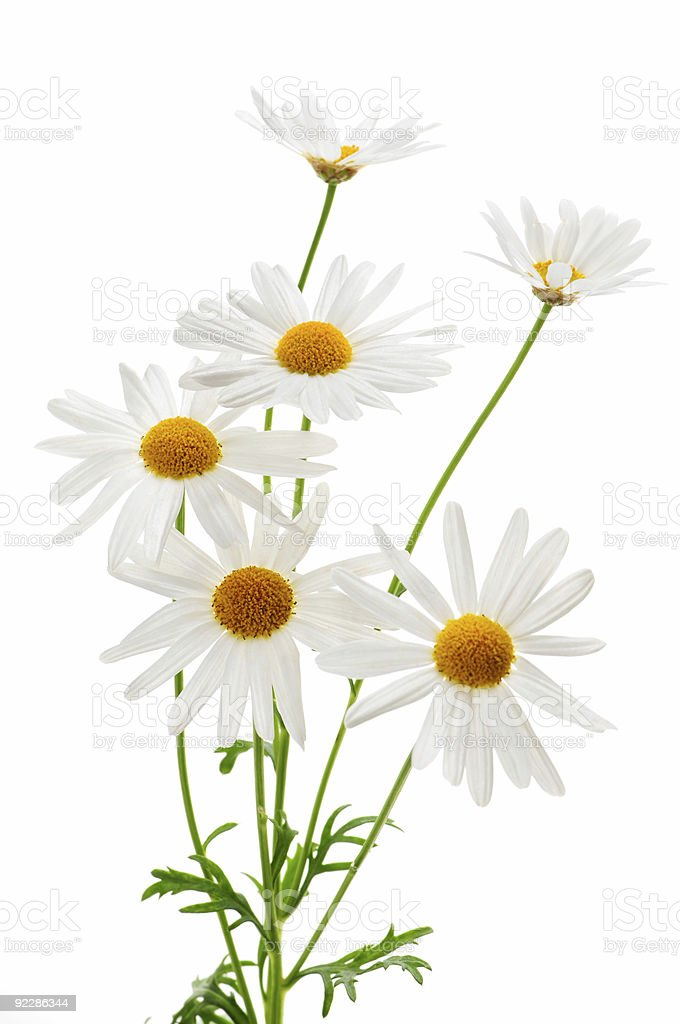 White daisies blooming on a white background stock photo