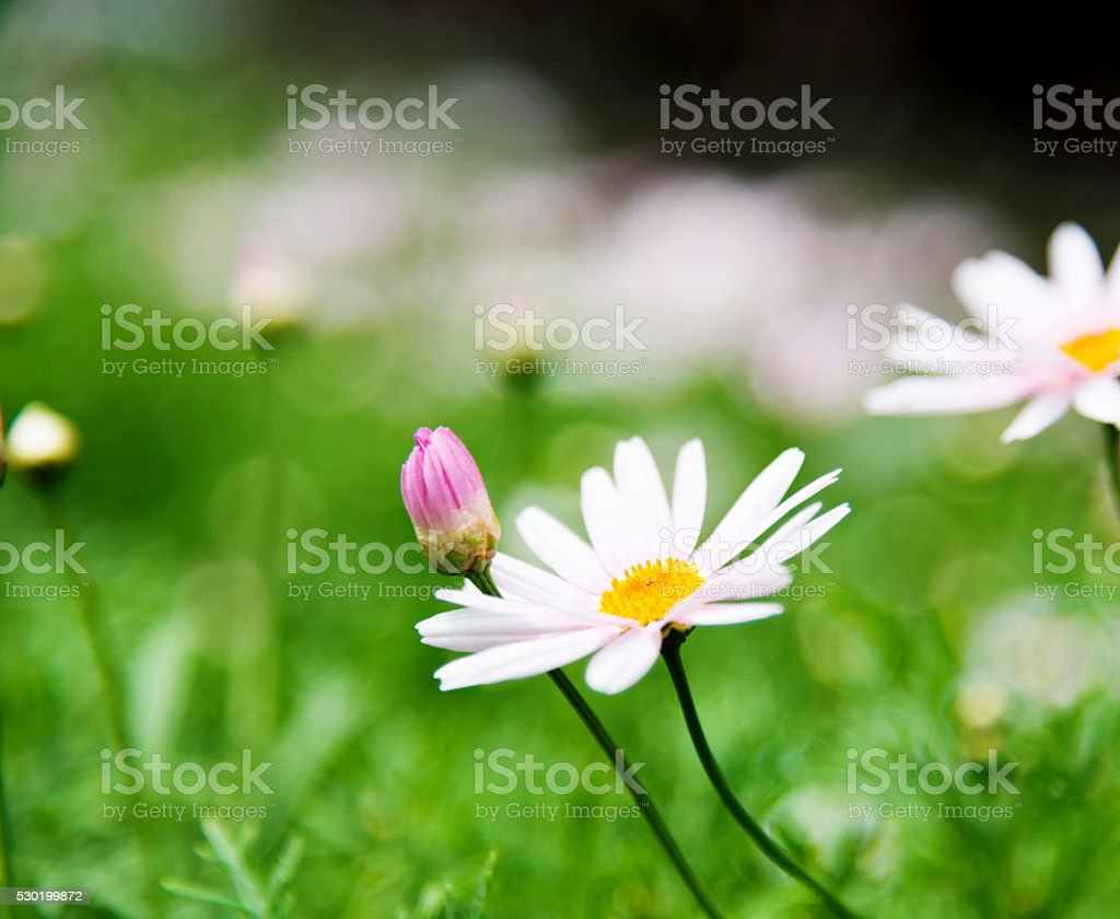 White daisies field stock photo