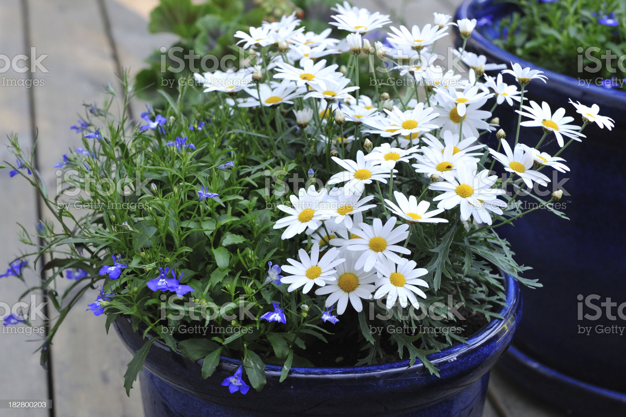White daisies in a blue flower pot royalty-free stock photo