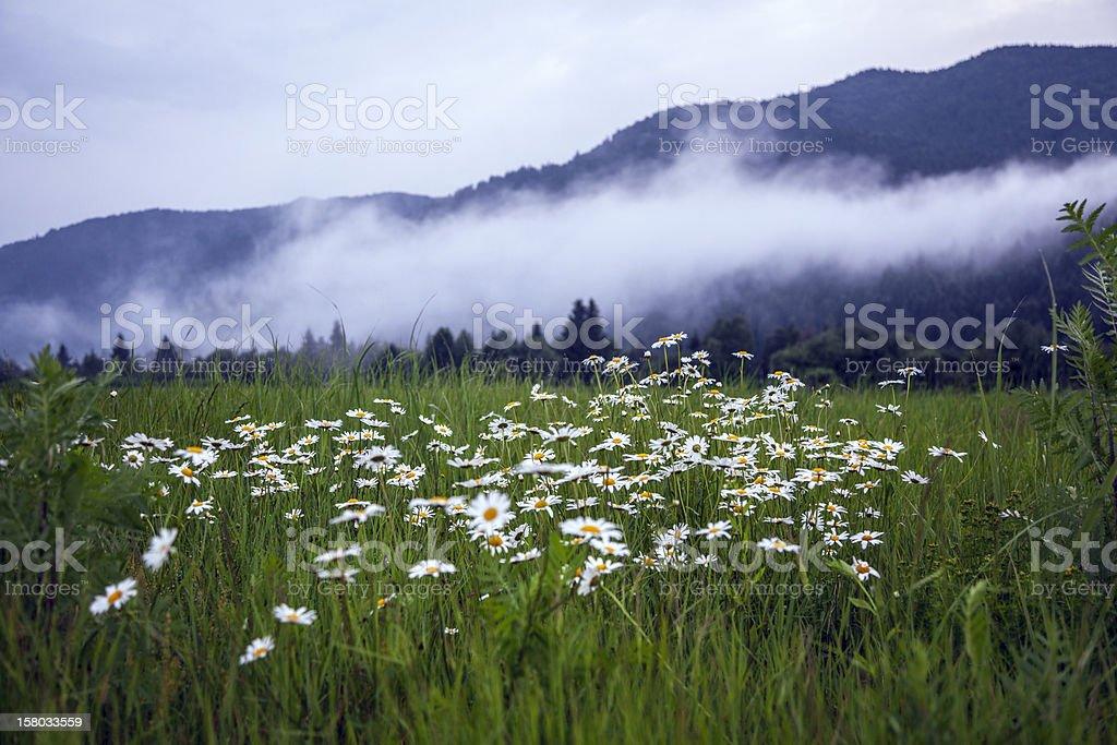 White daisies in the Carpathian Mountains royalty-free stock photo