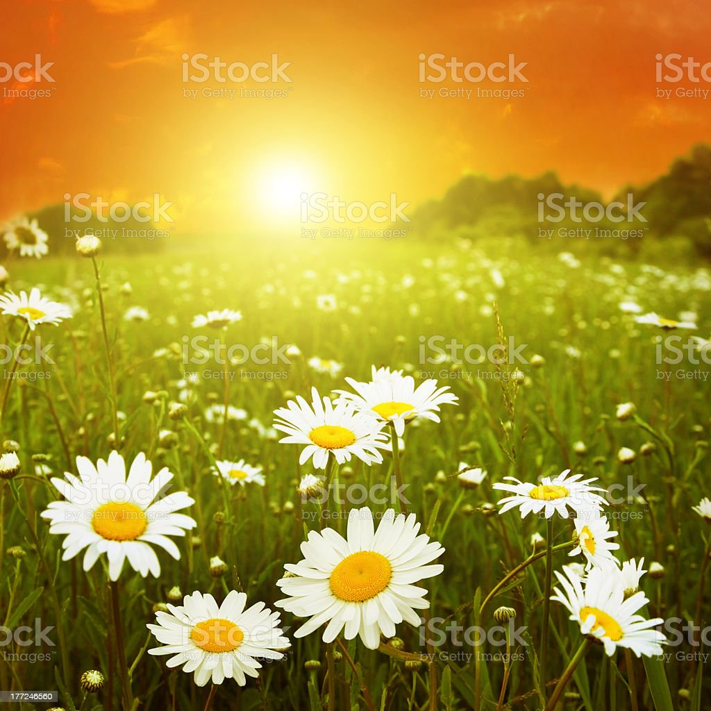 White daisies in the field at twilight. royalty-free stock photo