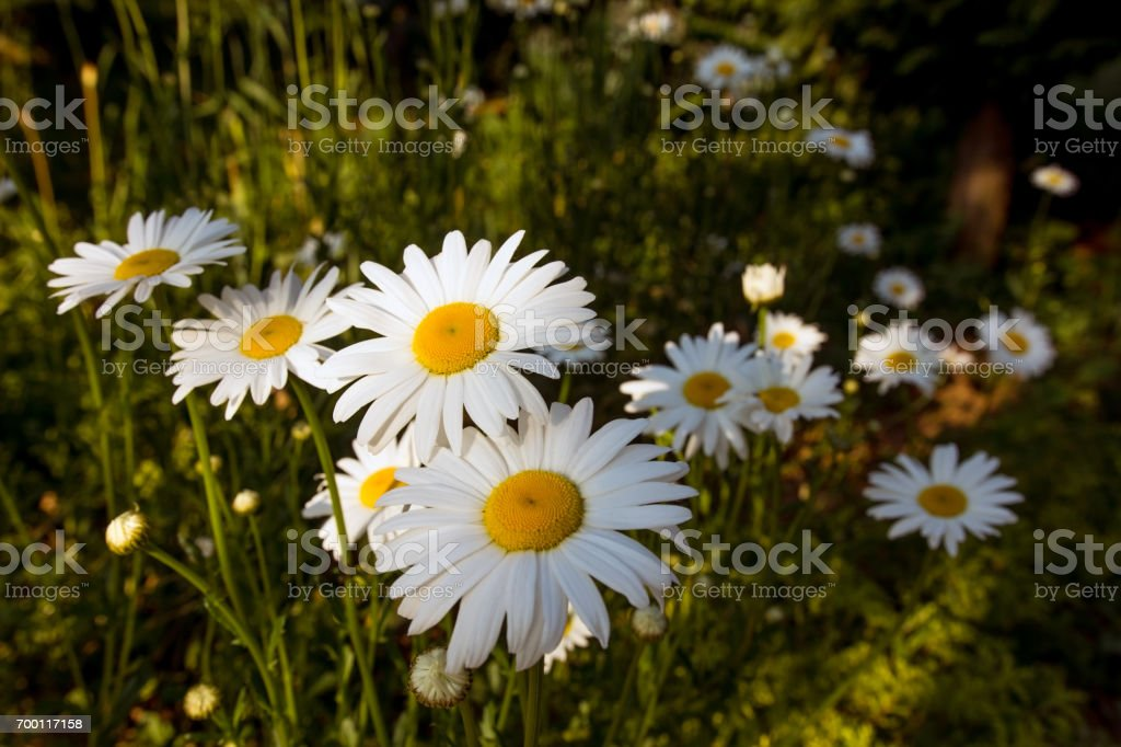White daisies in the garden stock photo