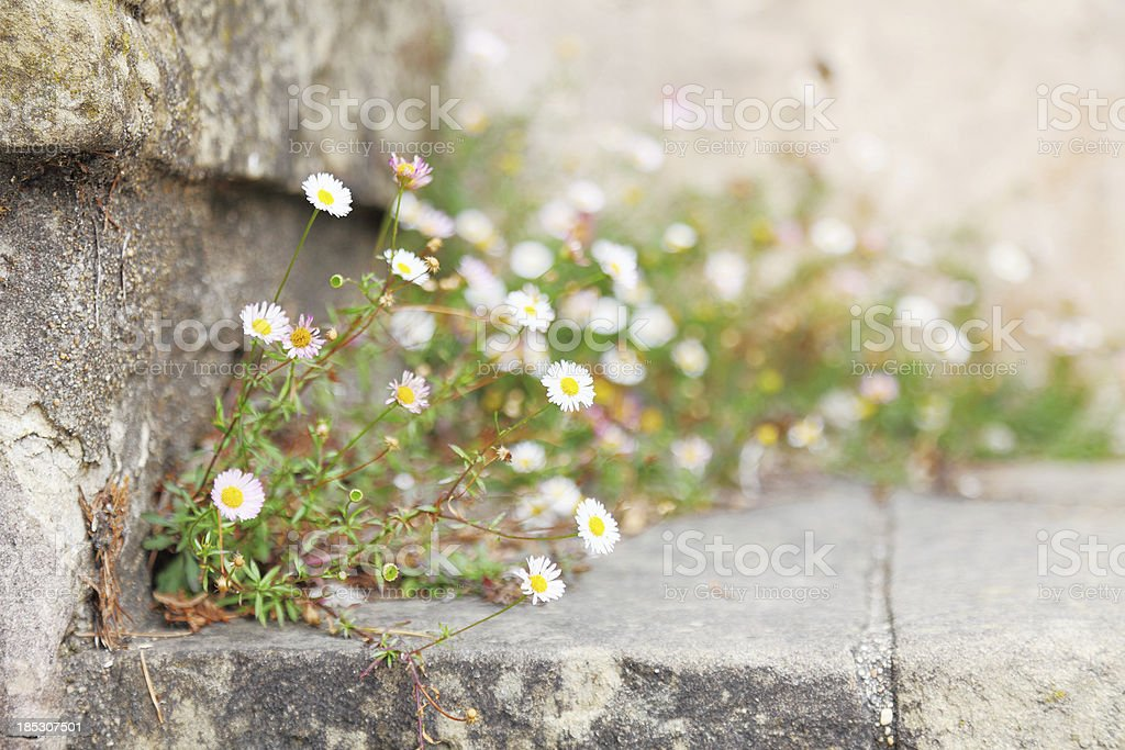 white daisies on old steps of Carmel Mission royalty-free stock photo