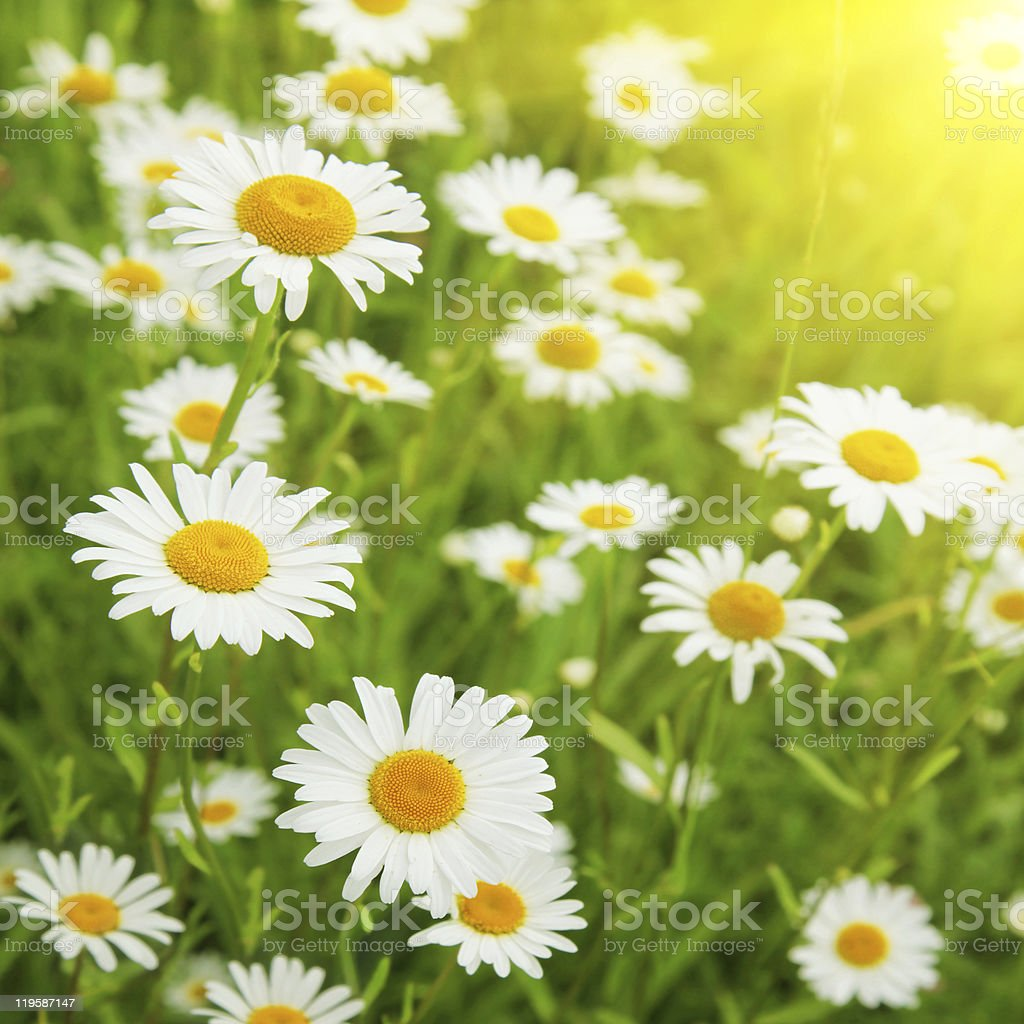 White daisies on summer day. stock photo
