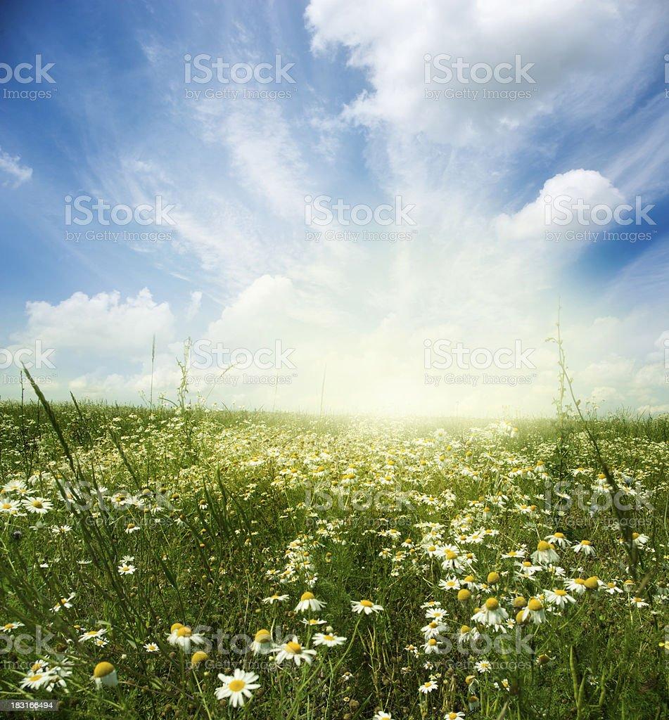 White daisies stock photo