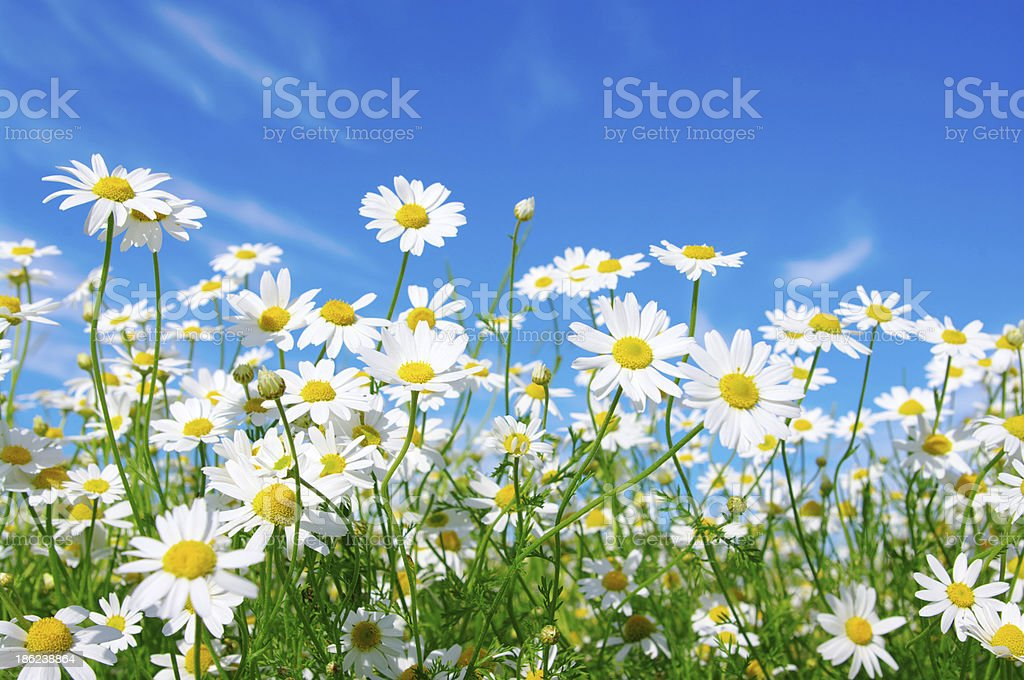 daisy pictures, images and stock photos  istock, Natural flower