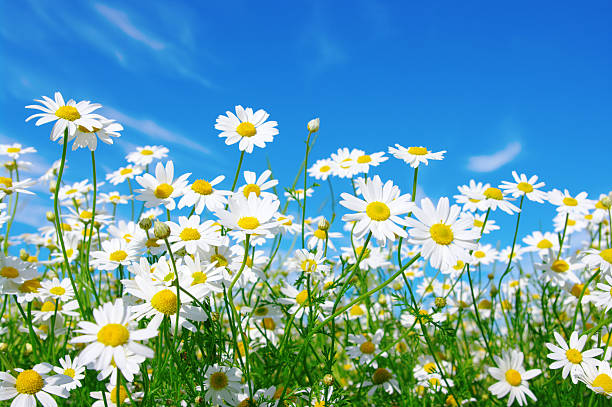 daisy pictures, images and stock photos  istock, Beautiful flower