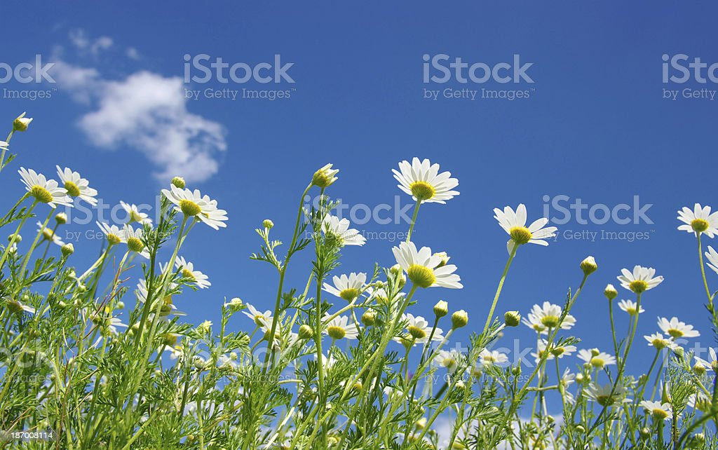white daisies royalty-free stock photo