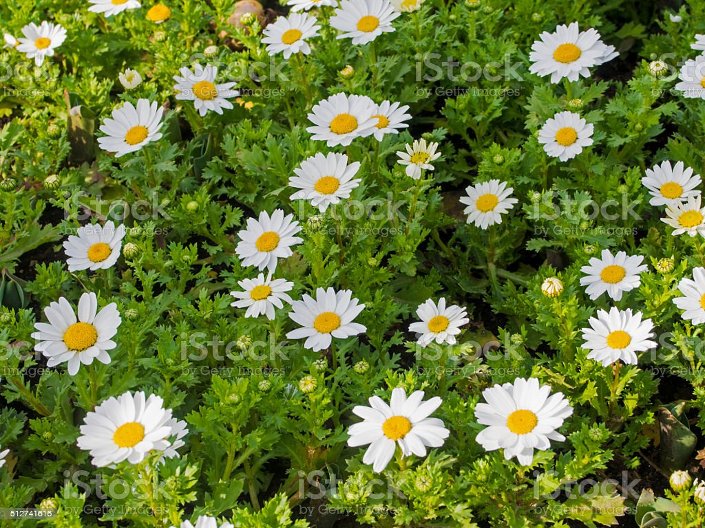 White Daisies stock photo