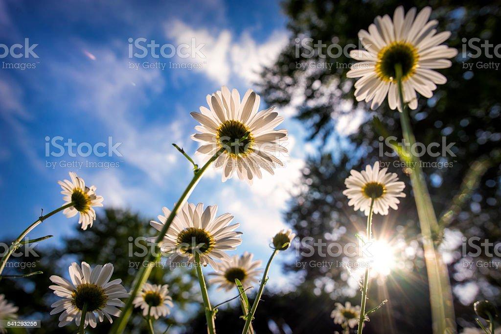 White Daisies Reaching Towards the Sun Viewed From Below stock photo