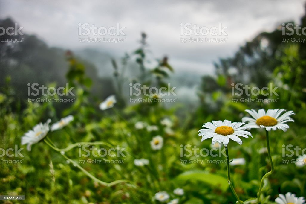 white Daisies White flowers meadow in the mountains stock photo