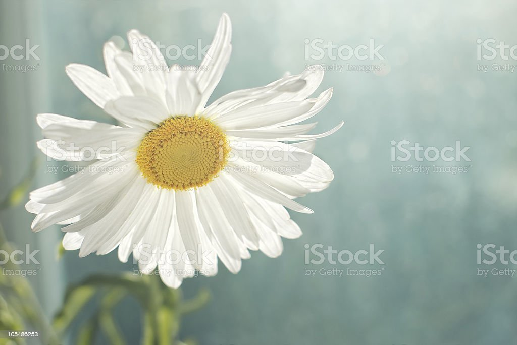 white daisy against blurred window royalty-free stock photo