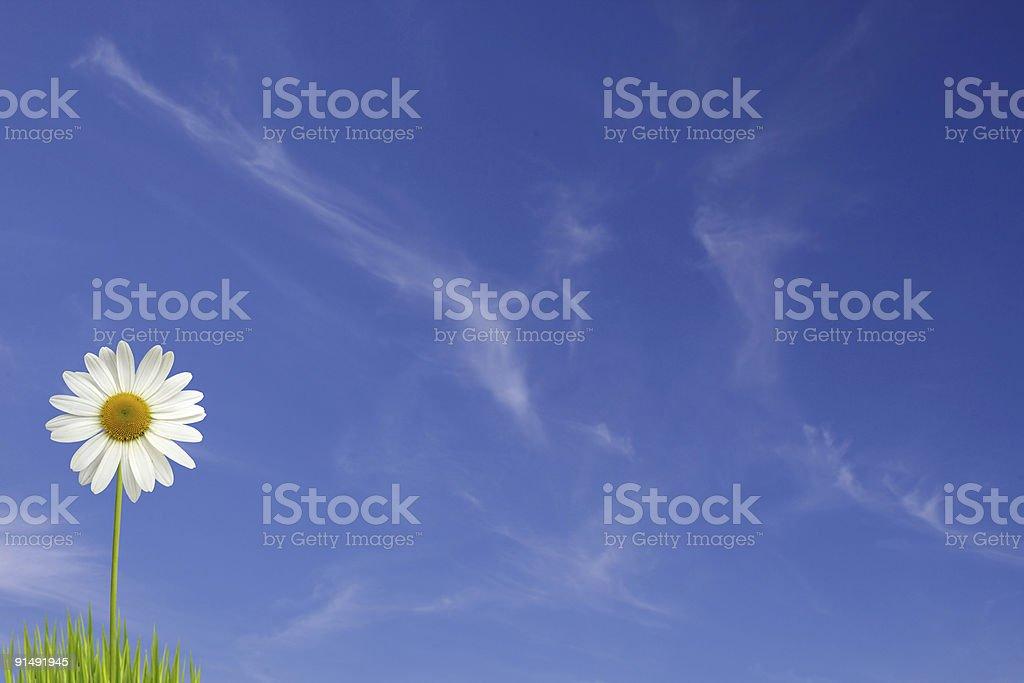 White daisy against the sky royalty-free stock photo