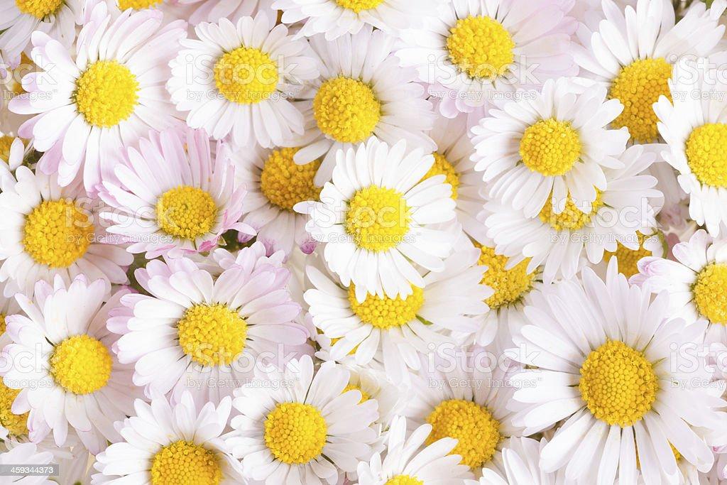 white daisy background stock photo