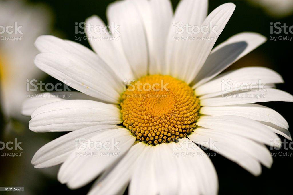 White daisy close up royalty-free stock photo