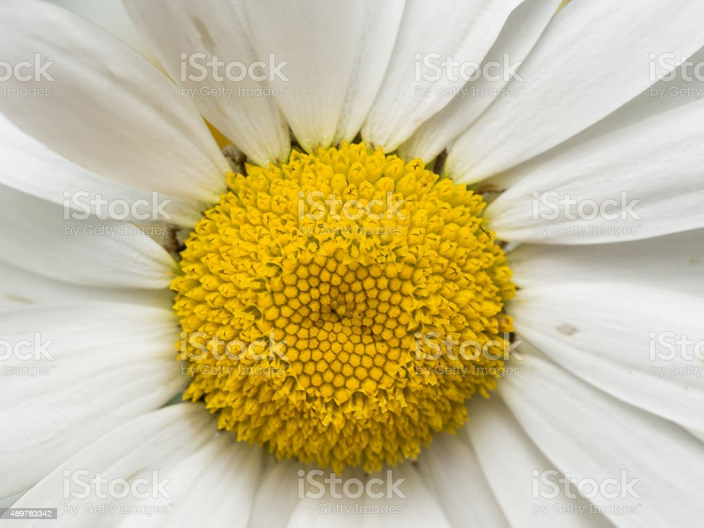 White Daisy Close up with Yellow Center stock photo