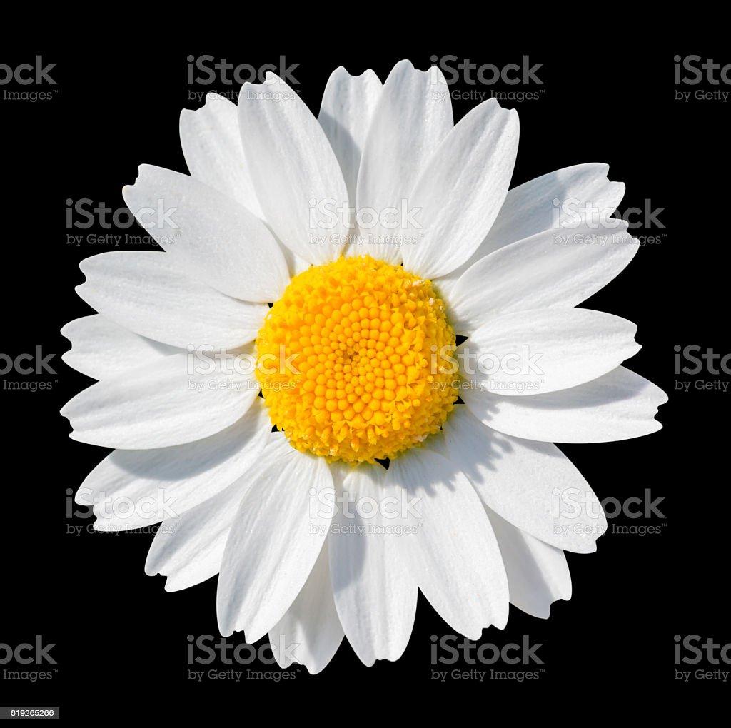 White daisy close-up isolated on black background. stock photo