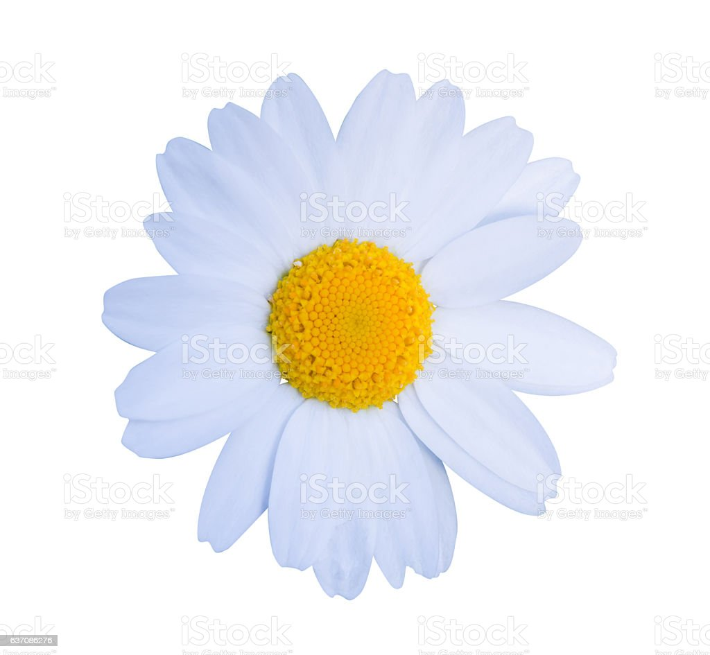 White daisy close-up isolated on white background. stock photo