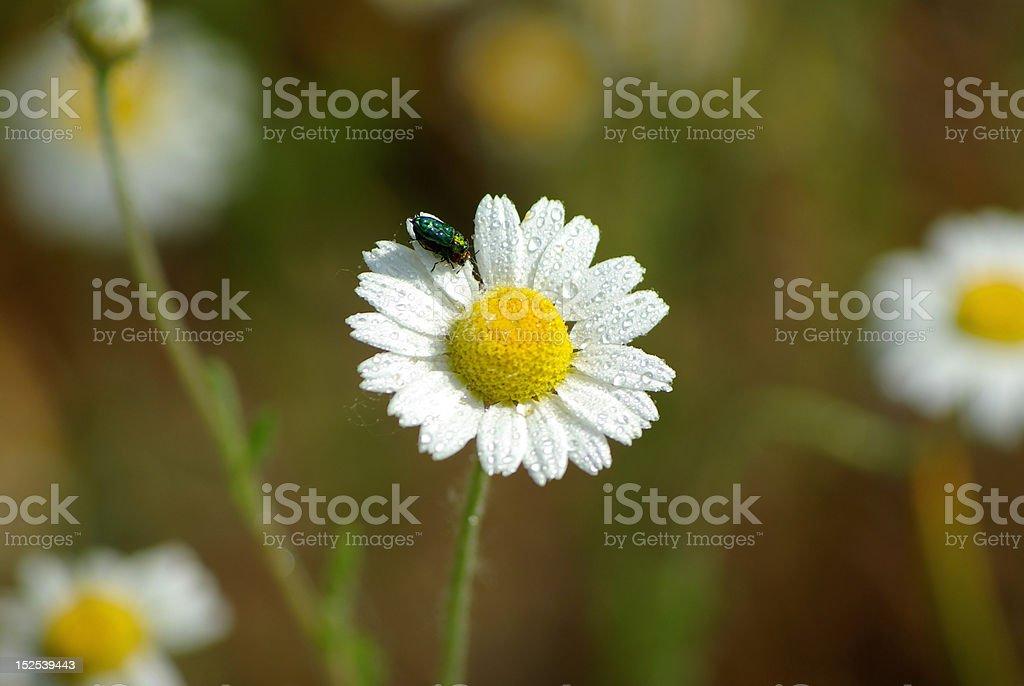 White daisy closeup royalty-free stock photo