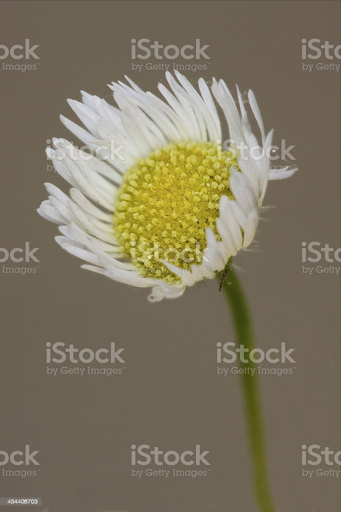 white daisy composite chamomilla in background royalty-free stock photo