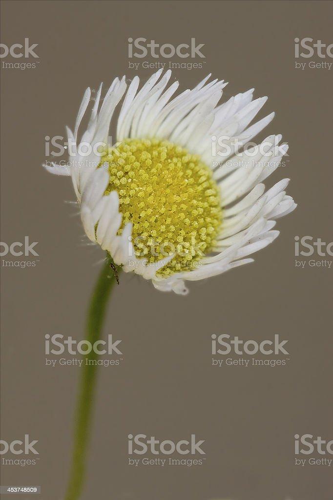 white daisy composite chamomilla royalty-free stock photo