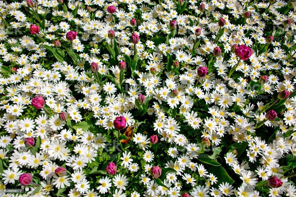 White daisy field stock photo