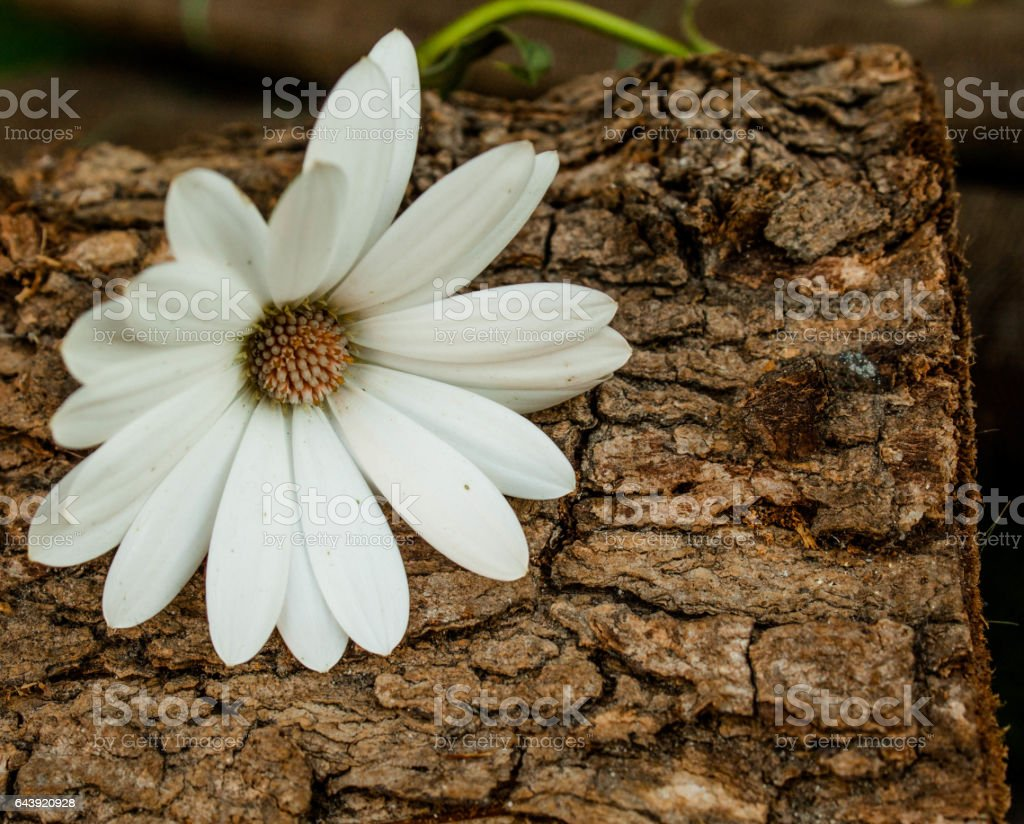 white daisy flower and wood stock photo
